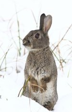rabbit standing in snow.JPG