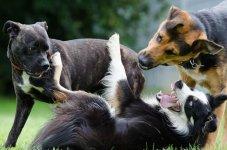 three dogs playing.JPG