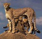 big cat family on rock.JPG